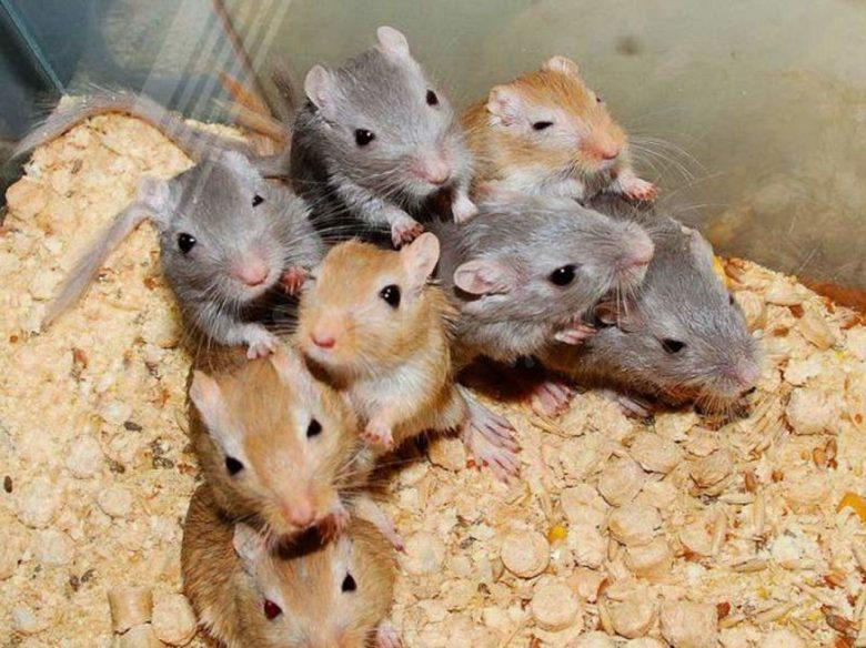 Песчанка – мышь, хвостатый хомяк или мини-тушканчик?