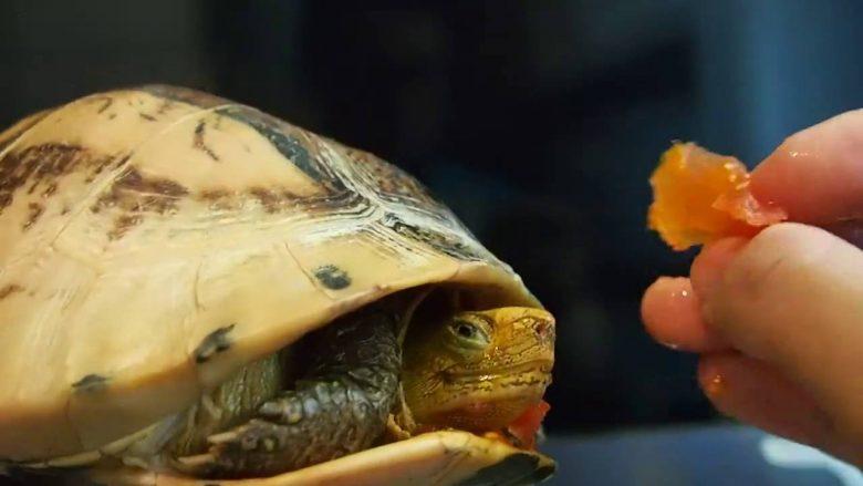 Едят ли сухопутные черепахи мясо?