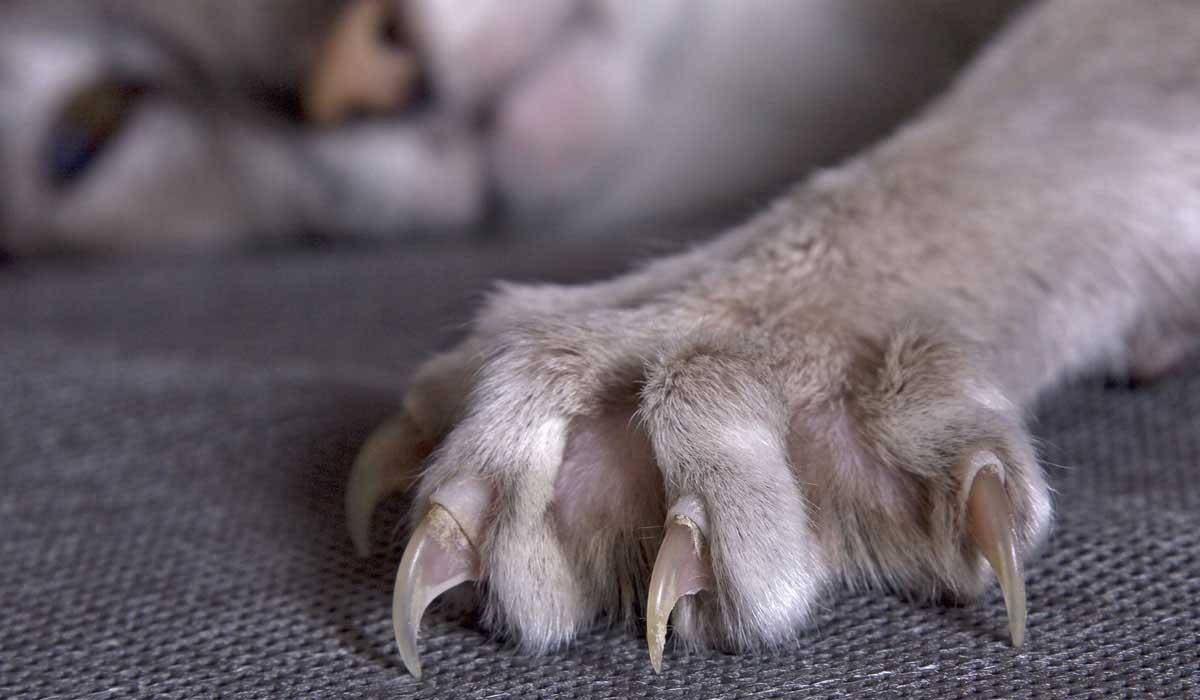 Если кот вырвал ноготь